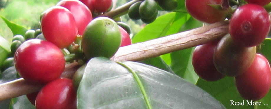 Things to Know Before You Buy Gourmet Kona Coffee