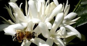 How Bees Get Buzzed on the Best Kona Coffee by Karen Paterson