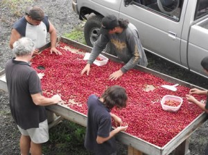 Getting to Ripe Coffee at Hula Daddy Kona Coffee by Karen Paterson